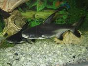 продам двух аквариуных рыб